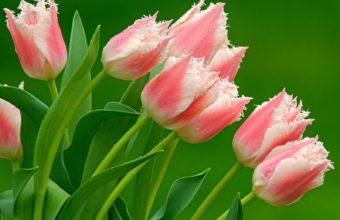 Parrot Tulips Wallpaper 1600x1200 340x220