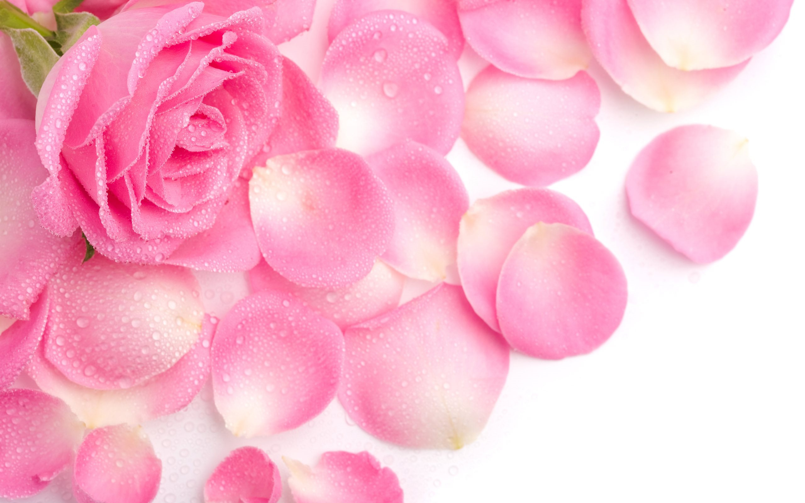Pink Beautiful Rose Petals Wallpaper 2560x1600