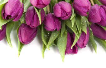 Purple Wet Tulips Wallpaper 1920x1080 340x220
