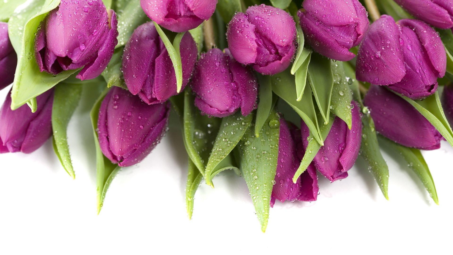 Purple Wet Tulips Wallpaper 1920x1080