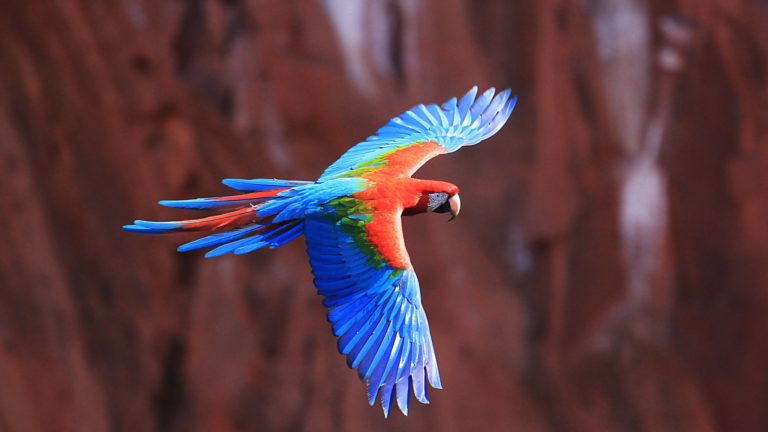 Red And Green Macaw 4K Ultra HD Wallpaper 3840x2160 768x432