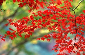 Red Autumn Branch Wallpaper 1920x1200 340x220