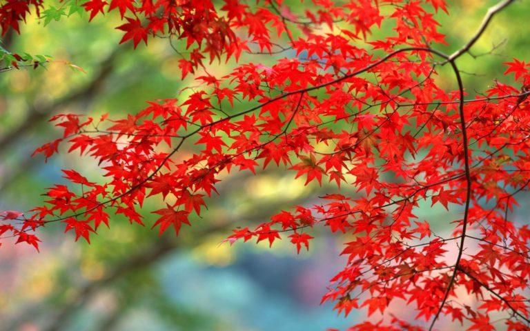 Red Autumn Branch Wallpaper 1920x1200 768x480