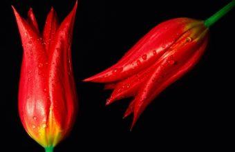 Red Hot Tulips Wallpaper 1600x1200 340x220