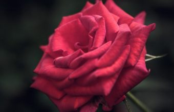 Red Rose iPhone 7 Wallpaper 340x220