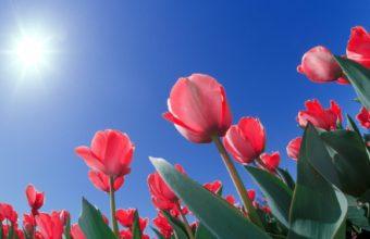 Red Tulips Cincinnati Ohio Wallpaper 1600x1200 340x220
