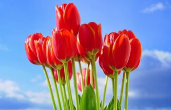 Red Tulips Flowers Bouquet Wallpaper 1370x900 340x220