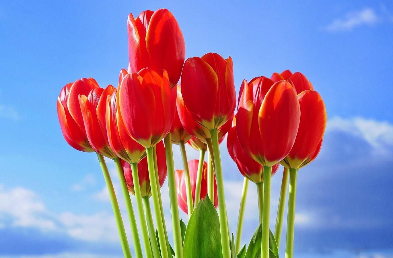 Red Tulips Flowers Bouquet Wallpaper 1370x900