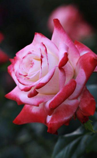 Rose Phone Wallpaper 1080x2340 01 340x550