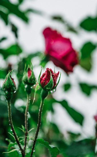 Rose Phone Wallpaper 1080x2340 08 340x550