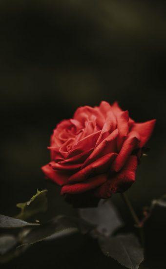 Rose Phone Wallpaper 1080x2340 10 340x550