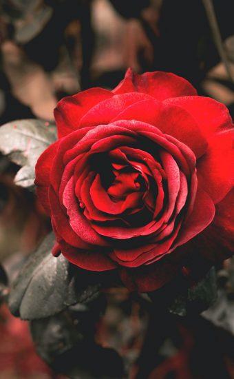 Rose Phone Wallpaper 1080x2340 20 340x550
