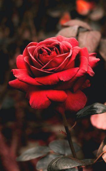 Rose Phone Wallpaper 1080x2340 23 340x550