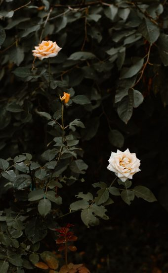 Rose Phone Wallpaper 1080x2340 25 340x550
