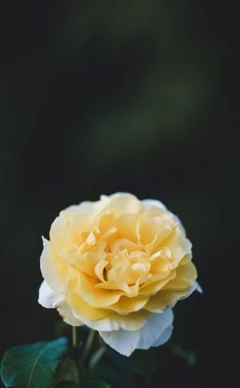 Rose Phone Wallpaper 1080x2340 26 340x550