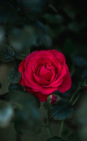Rose Phone Wallpaper 1080x2340 27 340x550