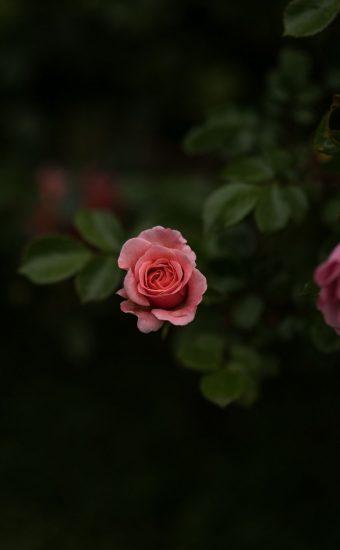 Rose Phone Wallpaper 1080x2340 28 340x550