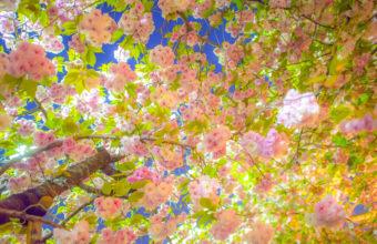 Sakura Cherry Tree Blossom Spring Wallpaper 2048x1363 340x220