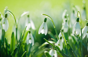 Snowdrops Nature Flowers Spring Wallpaper 4288x2848 340x220
