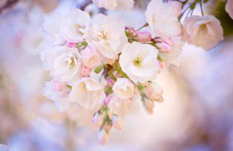Spring Bloom Cherry Wallpaper 2048x1365 340x220