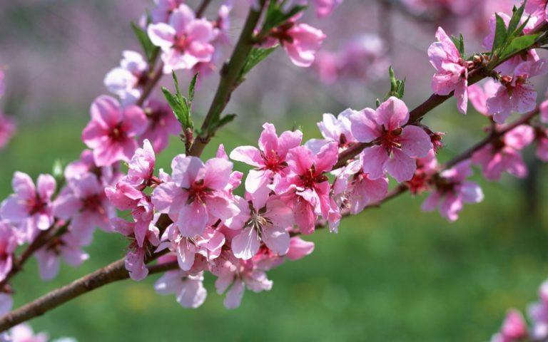 Spring Branch Wallpaper 1680x1050 768x480