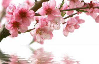 Spring Cherry Branch Flower Pink Wallpaper 2560x1600 340x220