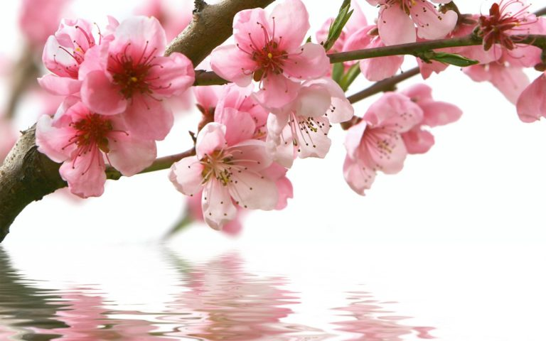 Spring Cherry Branch Flower Pink Wallpaper 2560x1600 768x480