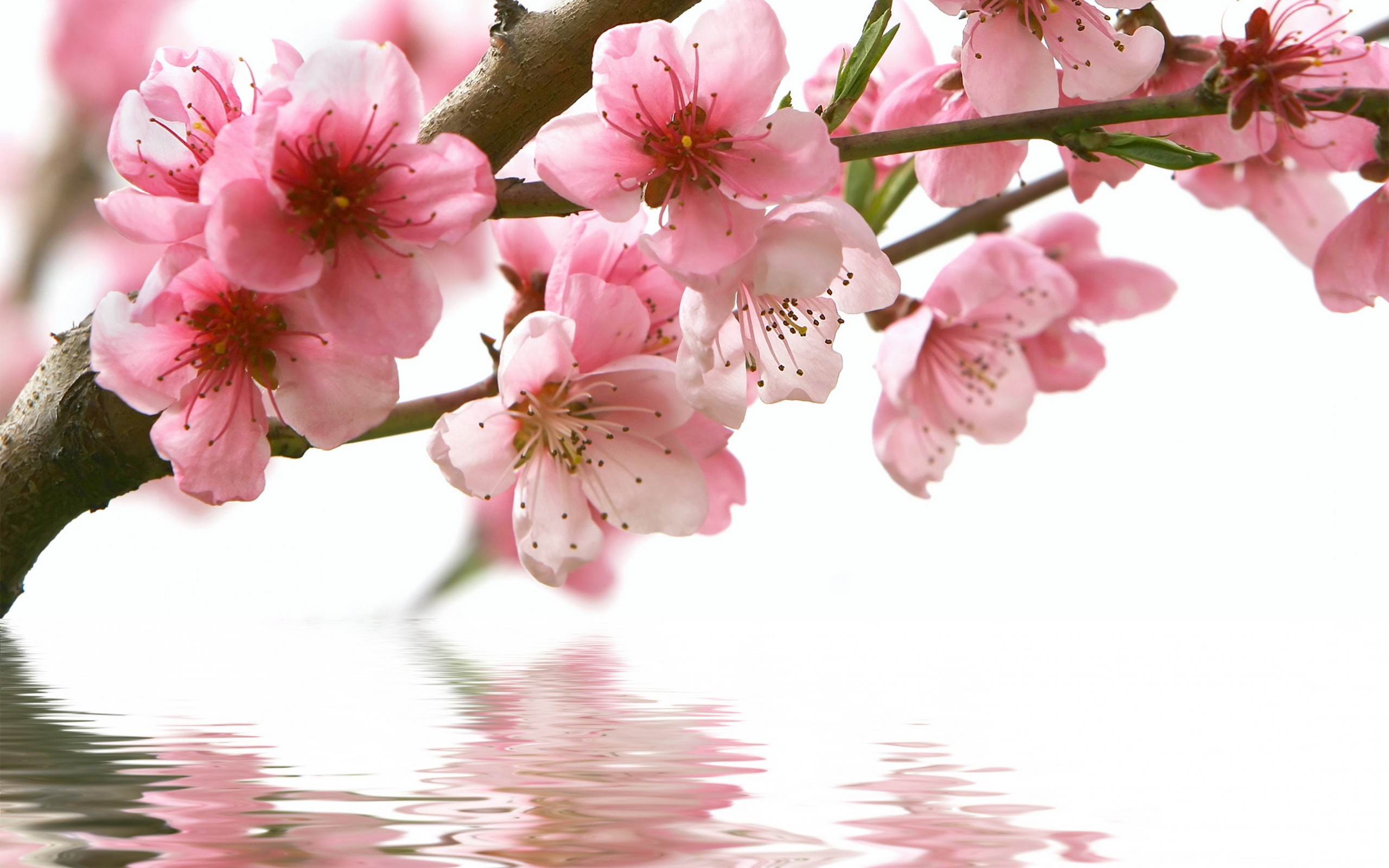 Spring Cherry Branch Flower Pink Wallpaper 2560x1600