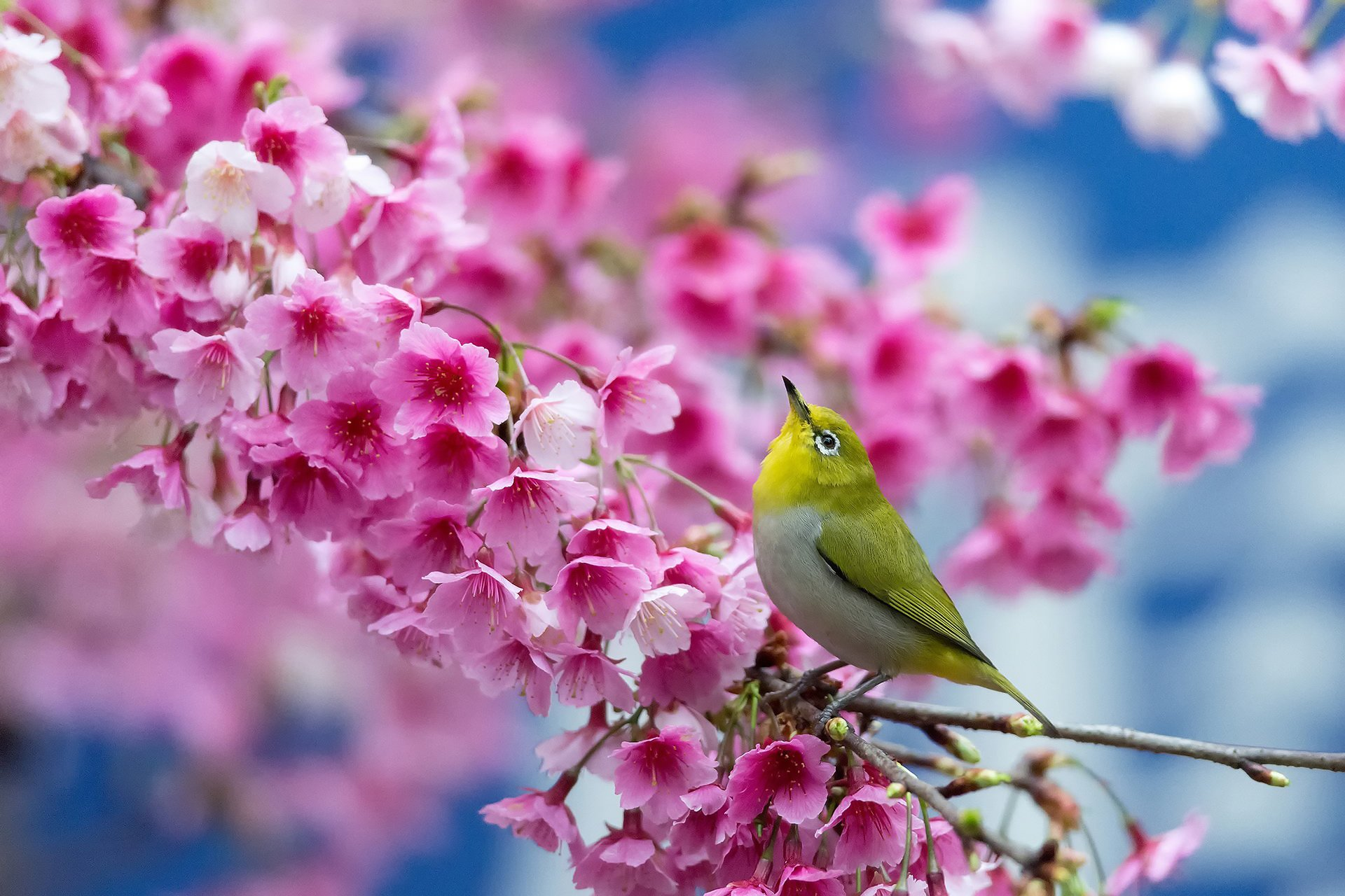 Spring Cherry Branch Flowers Beauty Wallpaper 1920x1280