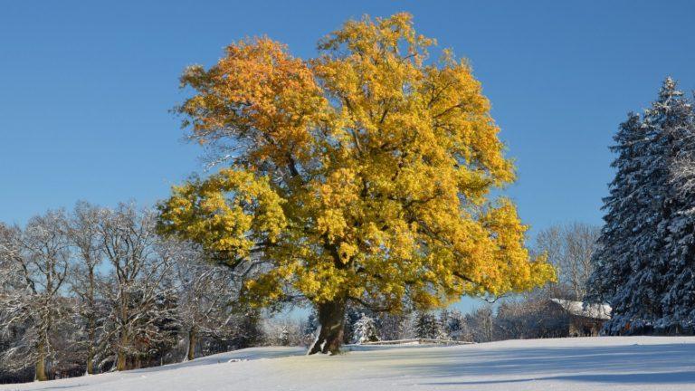 Tree Leaves Yellow Wallpaper 1440x810 768x432