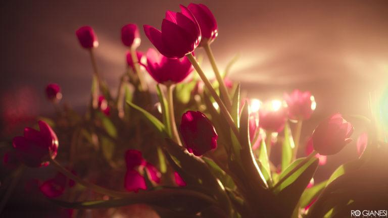 Tulip 4K Ultra HD Wallpaper 3840x2160 768x432