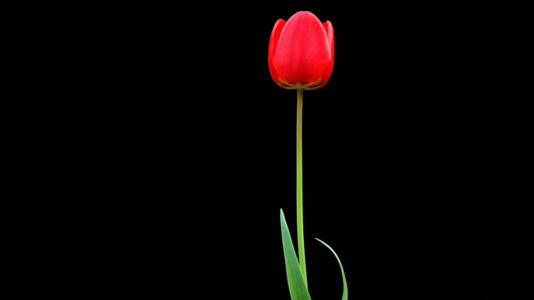 Tulip Red Flower 4K Ultra HD Wallpaper 3840x2160 768x432