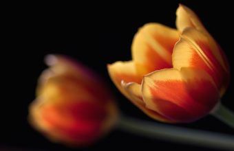 Tulips Couple Wallpaper 1920x1200 340x220