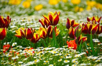 Tulips Daisies Flowerbed Wallpaper 2048x1340 340x220