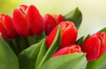 Tulips Drops Leaves Wallpaper 3840x2160 340x220
