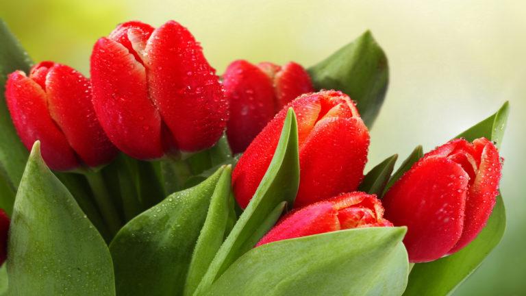 Tulips Drops Leaves Wallpaper 3840x2160 768x432