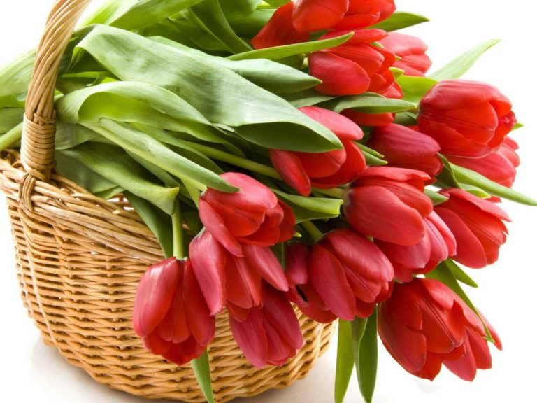 Tulips Flowers Red Wallpaper 1600x1200 768x576