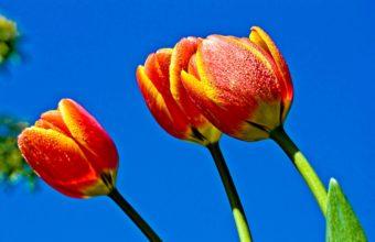 Tulips Flowers Sky Wallpaper 2160x1440 340x220