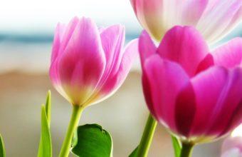 Tulip Wallpapers