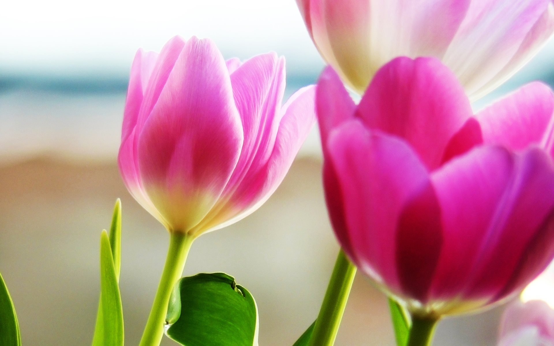 Tulip Wallpapers Hd