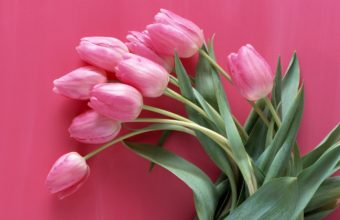 Tulips Pink Flowers Wallpaper 1440x900 340x220
