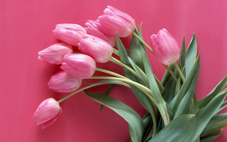 tulips pink flowers wallpaper [1440x900]