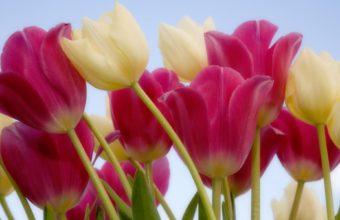 Tulips Sky Wallpaper 1920x1200 340x220
