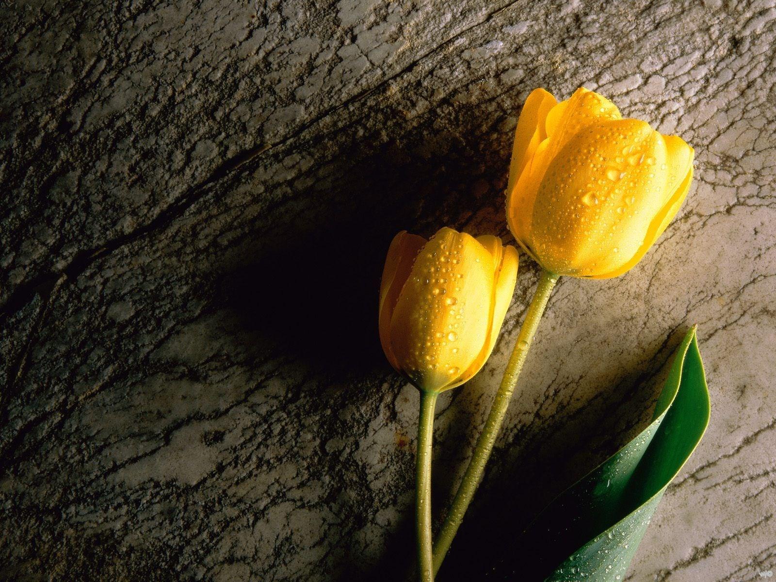 Two Wet Yellow Tulips Wallpaper 1600x1200
