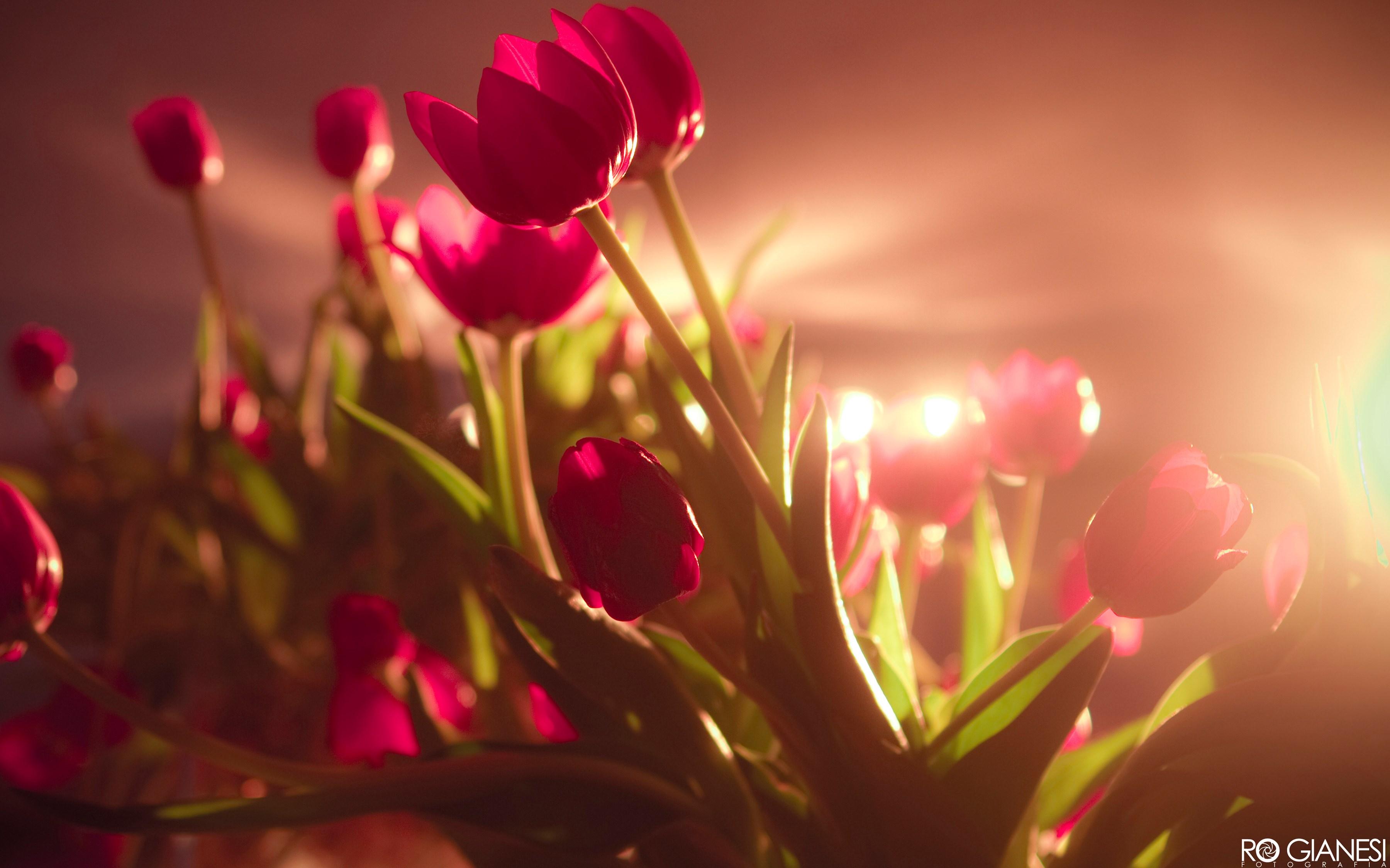 Vibrant Red Tulips Wallpaper 3600x2250
