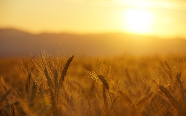 Wheat Macro Grass Field Sunrise Wallpaper 1920x1200 768x480