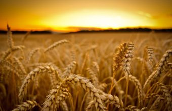 Wheat Sunset Macro Wallpaper 2880x1800 340x220
