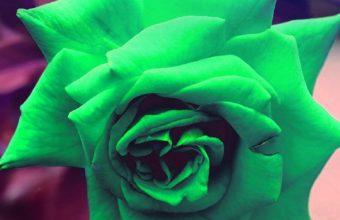iPhone 7 Green Reose Wallpaper 340x220