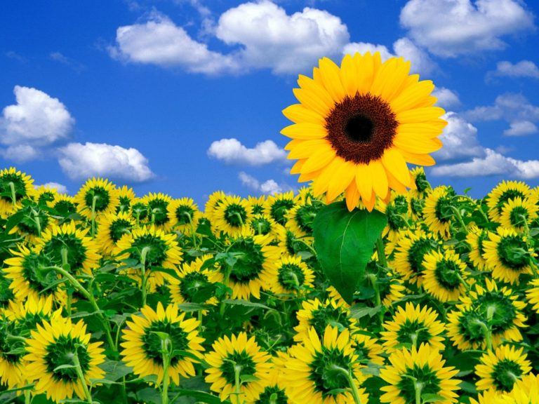 A Little Sunshine To Brighten Day Wallpaper 1600x1200 768x576
