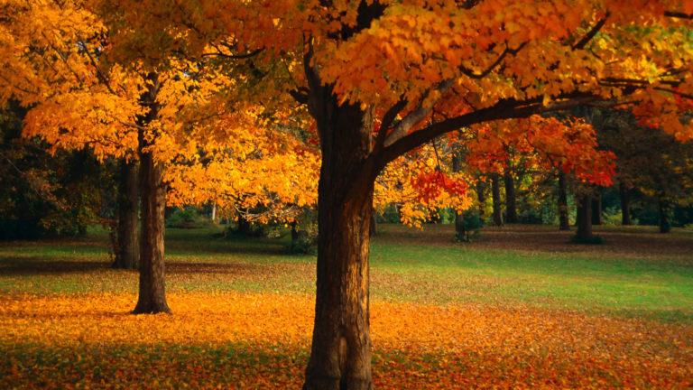 Beautiful Golden Trees Wallpaper 1920x1080 768x432